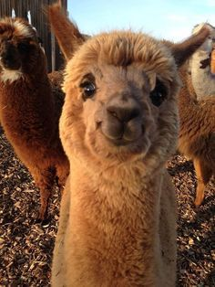 37 Alpacas That Will Make Your Day | ✨Favorite creatures | Süße ...
